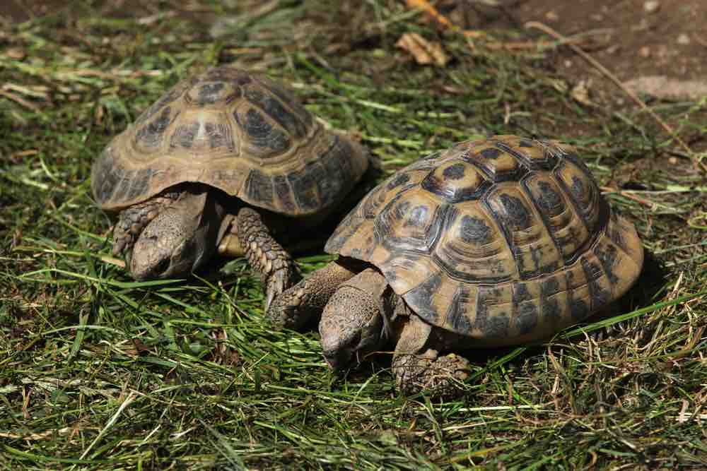 Are Tortoises Better in Pairs? TortoiseOwner.com