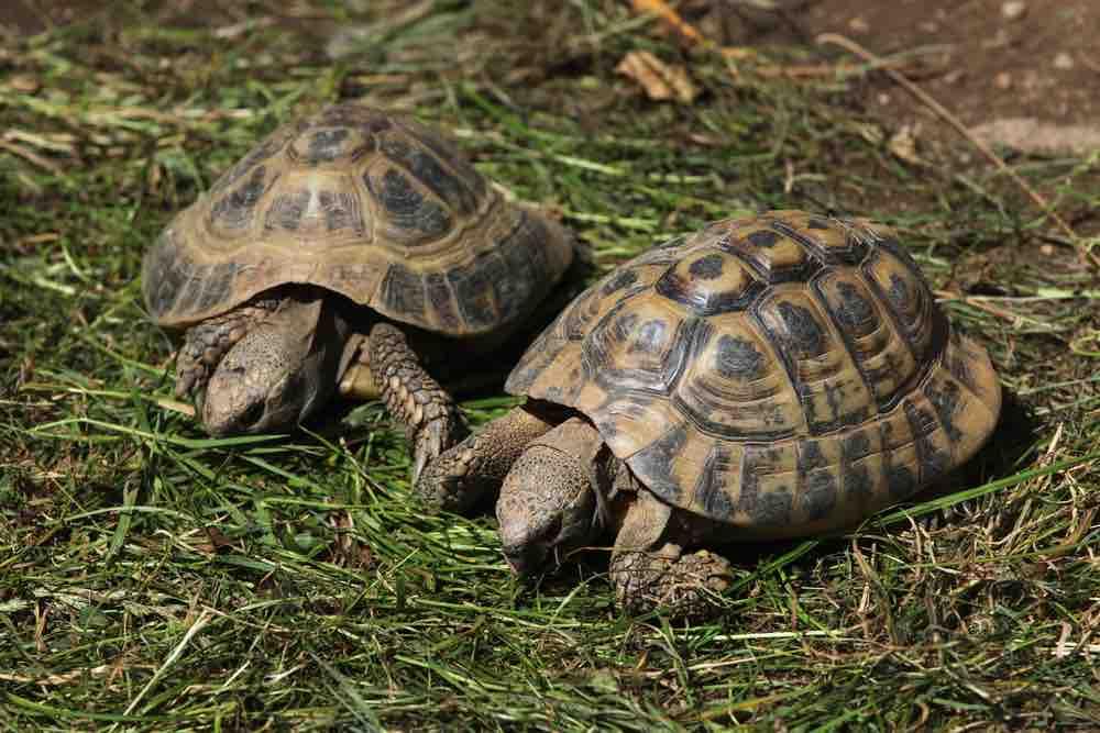 Are Tortoises Better in Pairs? TortoiseOwner.com