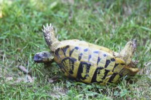 Can an upside-down tortoise turn itself over? TortoiseOwner.com