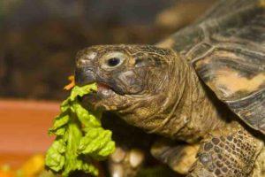 Can a Tortoise Choke? - TortoiseOwner.com