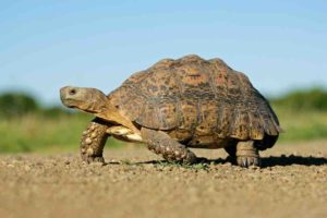 Tortoise Anatomy: What Tortoises Are Made Of & Why - TortoiseOwner.com