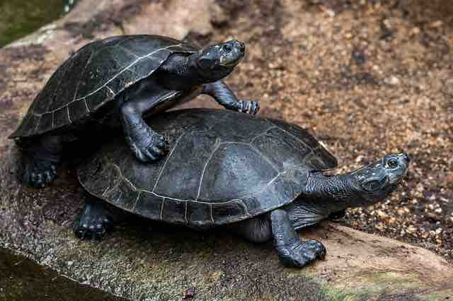 Can tortoises and turtles mate? - TortoiseOwner.com