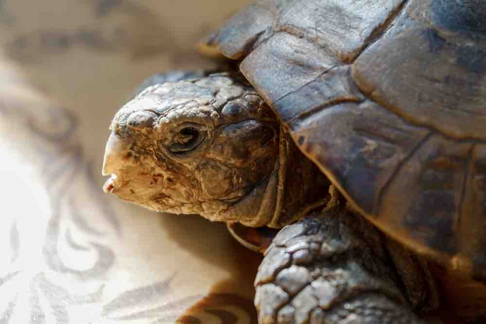 Do tortoises and turtles need vaccinations? - TortoiseOwner.com