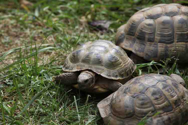 Tortoises and Salmonella: What you need to know - TortoiseOwner.com