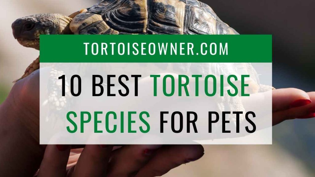 The 10 best tortoise species for pets - TortoiseOwner.com