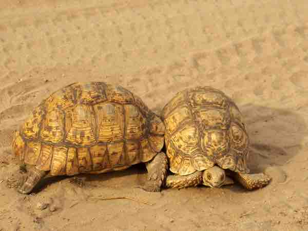 Are Tortoises Aggressive? with Checklist
