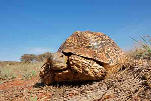 What to do if a tortoise vomits or pukes