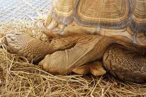 """Is My Tortoise Dead or Hibernating?"" Here's How to Tell - TortoiseOwner.com"