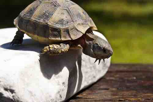 Can Tortoises Jump? - TortoiseOwner.com