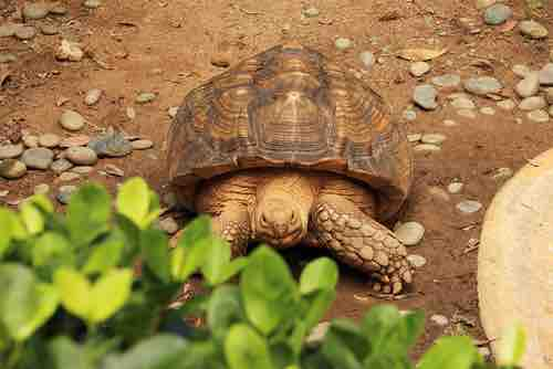 Do Tortoises and Turtles Fart? - TortoiseOwner.com