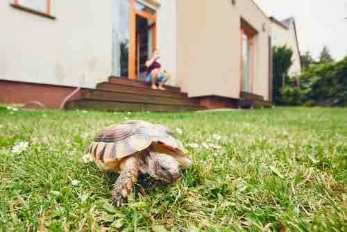 Why tortoises shouldn't roam around the house