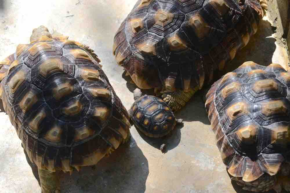 How big can that tortoise get? Tortoise sizes and weights guide