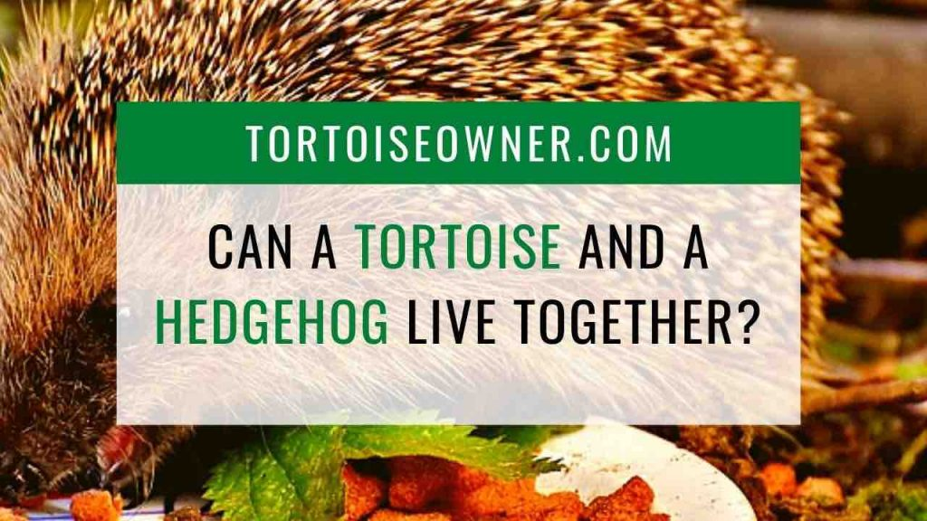 Can a tortoise and a hedgehog live together? - TortoiseOwner.com