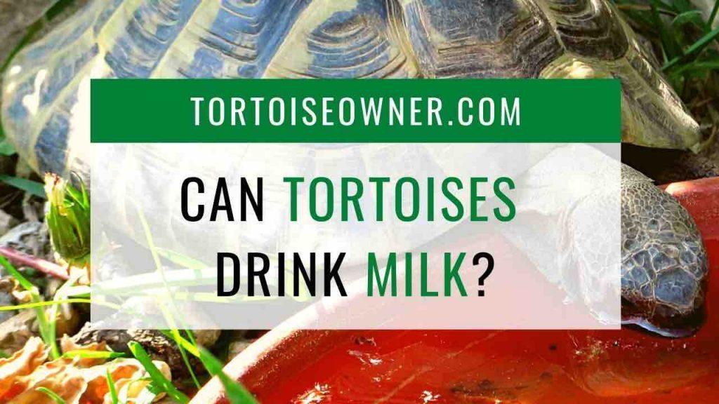 Can tortoises drink milk? TortoiseOwner.com