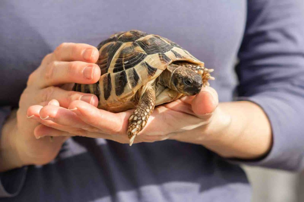 Tortoises must be kept at a safe temperature, even when transporting them - TortoiseOwner.com