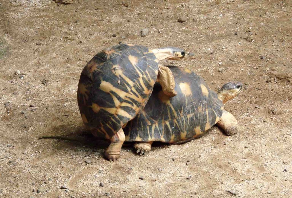 Star Tortoises Mating (Some tail wagging involved) - TortoiseOwner.com