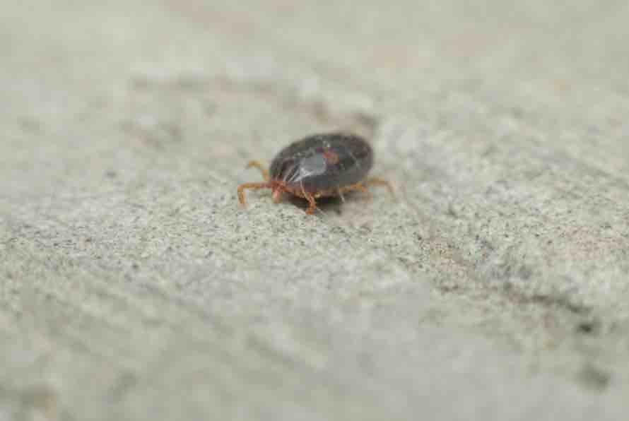 Do tortoises attract bugs? Ticks