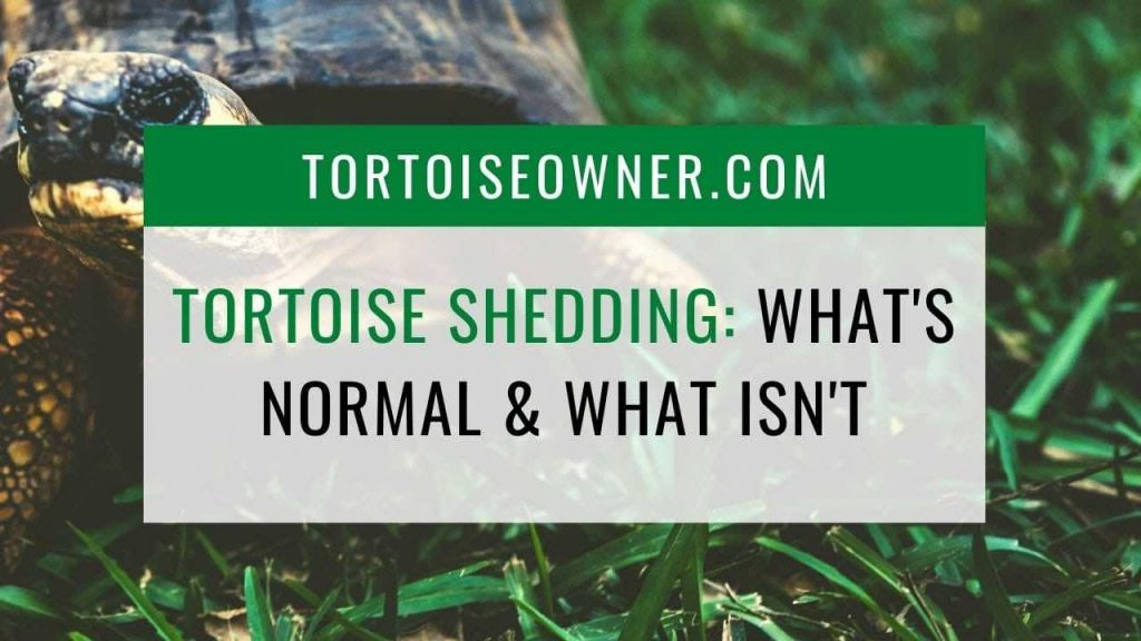 Tortoise Shedding: What is normal & what isn't