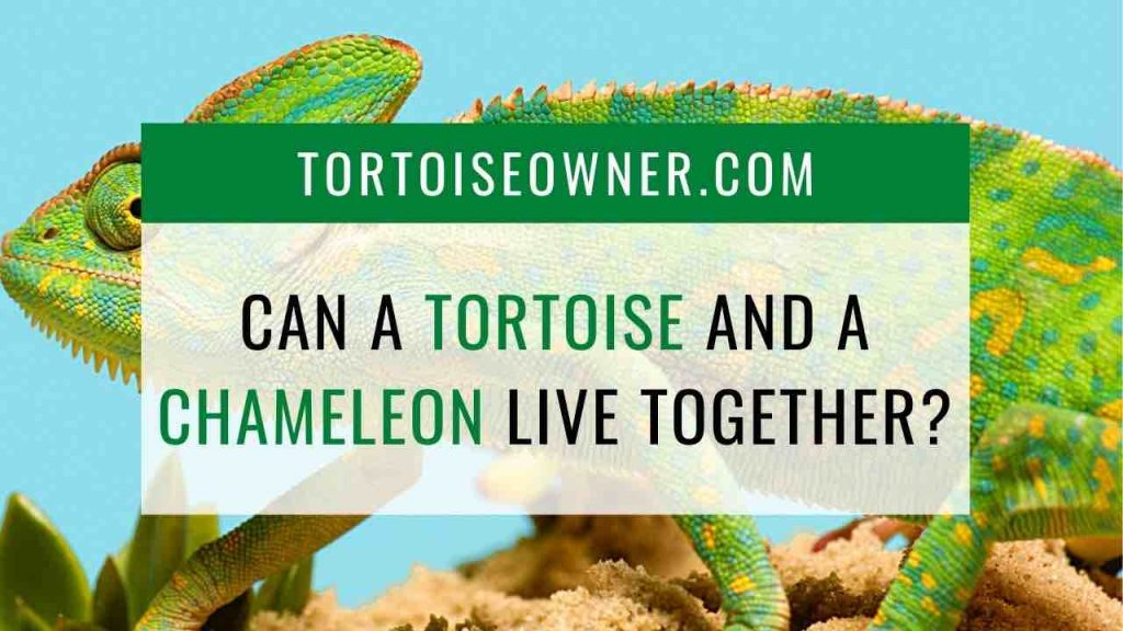 Can a tortoise and a chameleon live together? TortoiseOwner.com