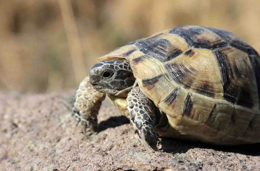 Tortoises really enjoy to roam and if they are not, it may suggest other health issues are present.