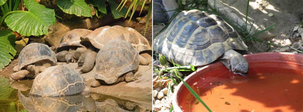 All tortoises need water - TortoiseOwner.com