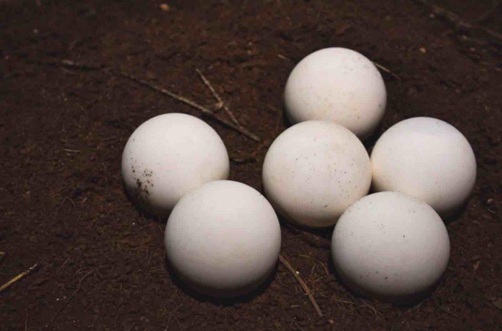 Tortoise Eggs