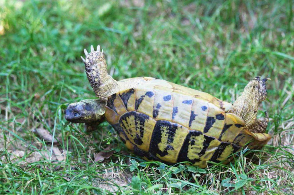 Upside down tortoise - TortoiseOwner.com