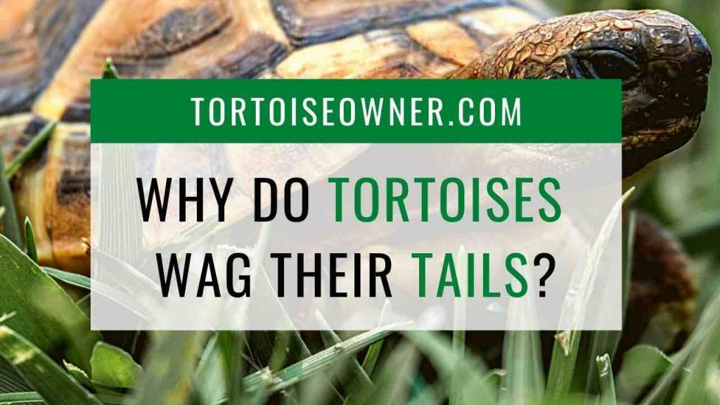 Why do tortoises wag their tail? - TortoiseOwner.com