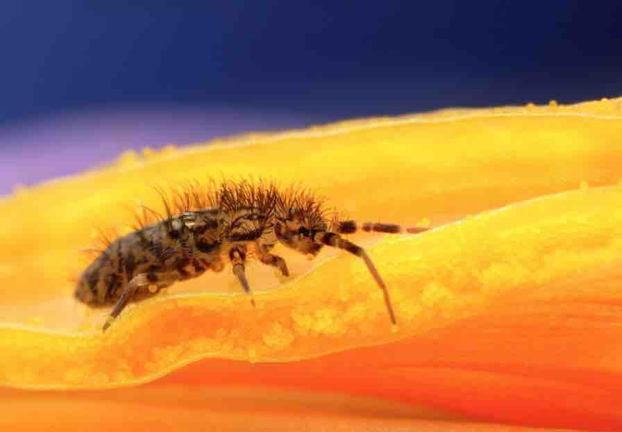 Do tortoises attract bugs? - Springtails