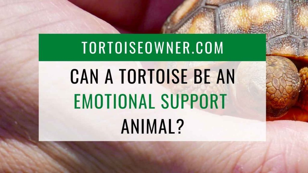 Can a tortoise be an emotional support animal? - TortoiseOwner.com
