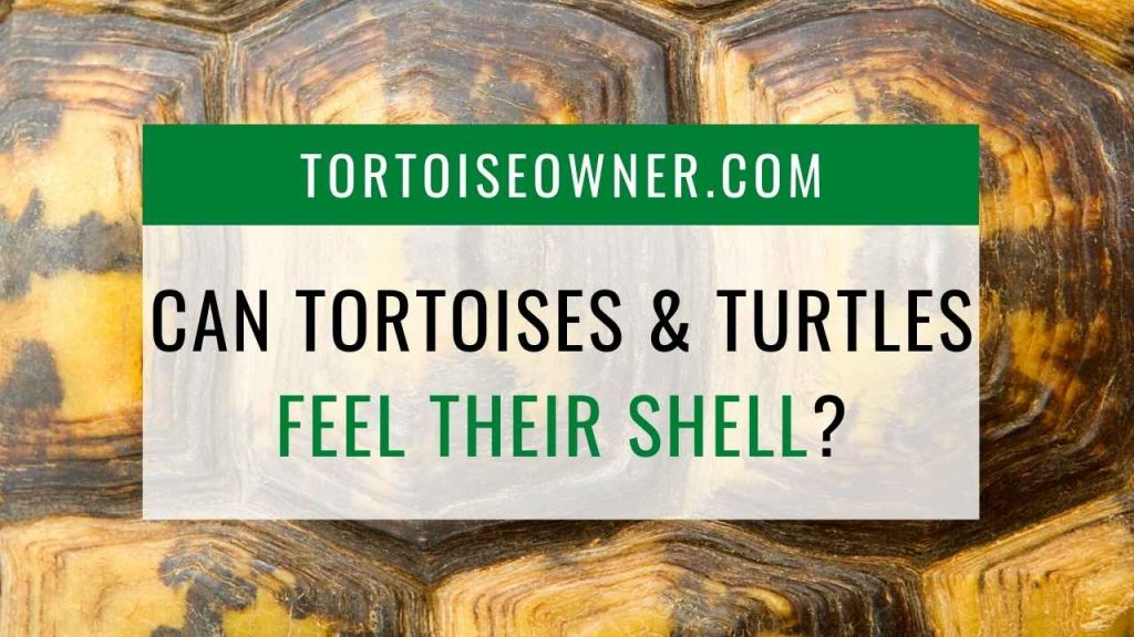 Can tortoises and turtles feel their shell? - TortoiseOwner.com