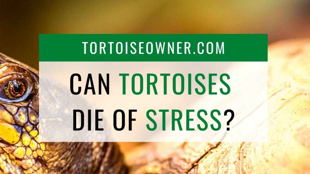 Can tortoises die of stress? - TortoiseOwner.com