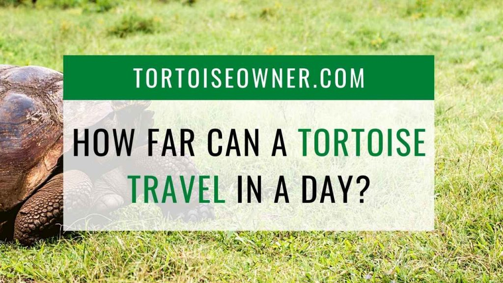 How far can a tortoise travel in a day? - TortoiseOwner.com