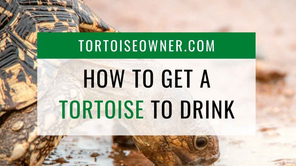 How to get a tortoise to drink - TortoiseOwner.com