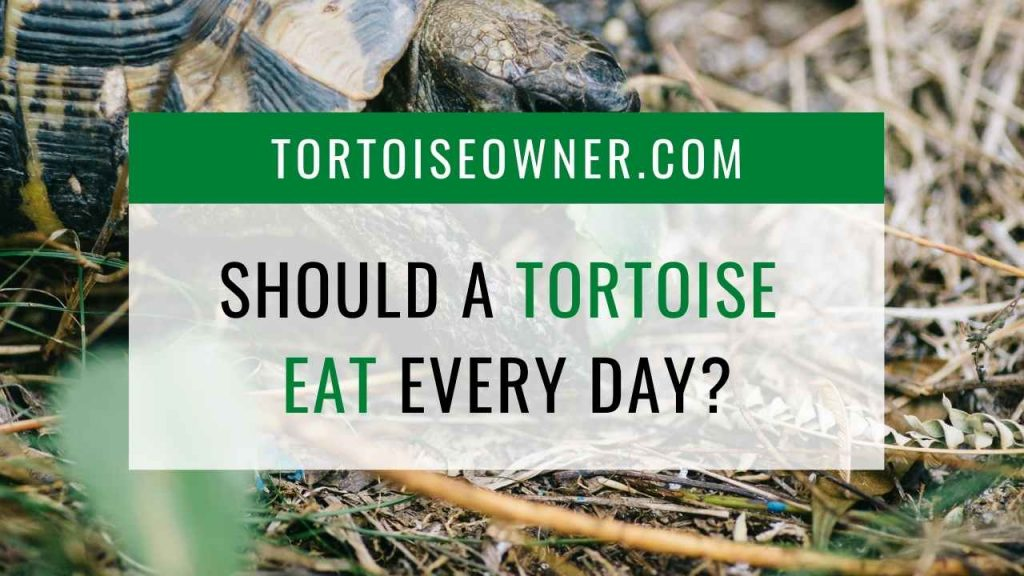 Should a tortoise eat every day? - TortoiseOwner.com