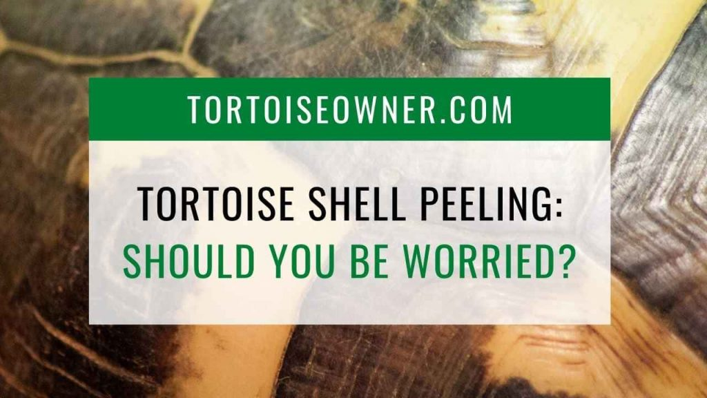 Tortoise shell peeling: Should you worry? - TortoiseOwner.com
