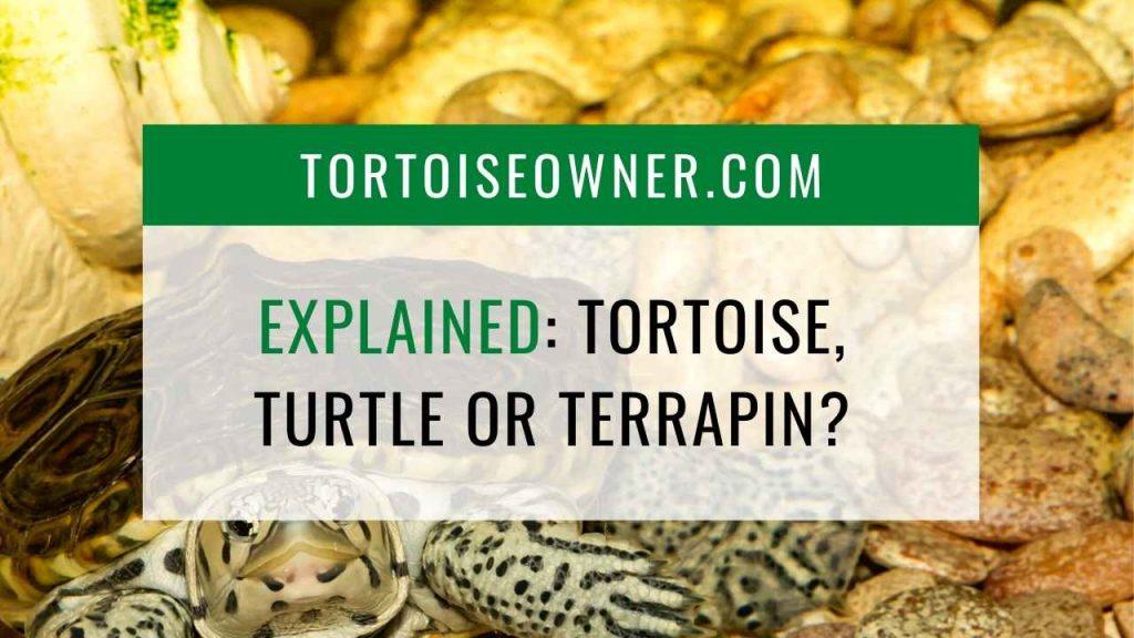 Explained: Tortoise, turtle or terrapin? - TortoiseOwner.com