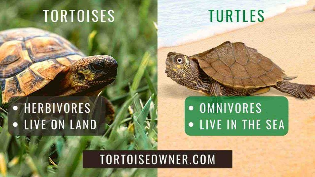Tortoises vs. Turtles: What is the difference? - TortoiseOwner.com