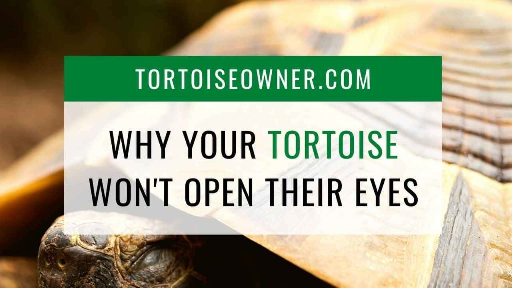Why your tortoise wont open their eyes - TortoiseOwner.com